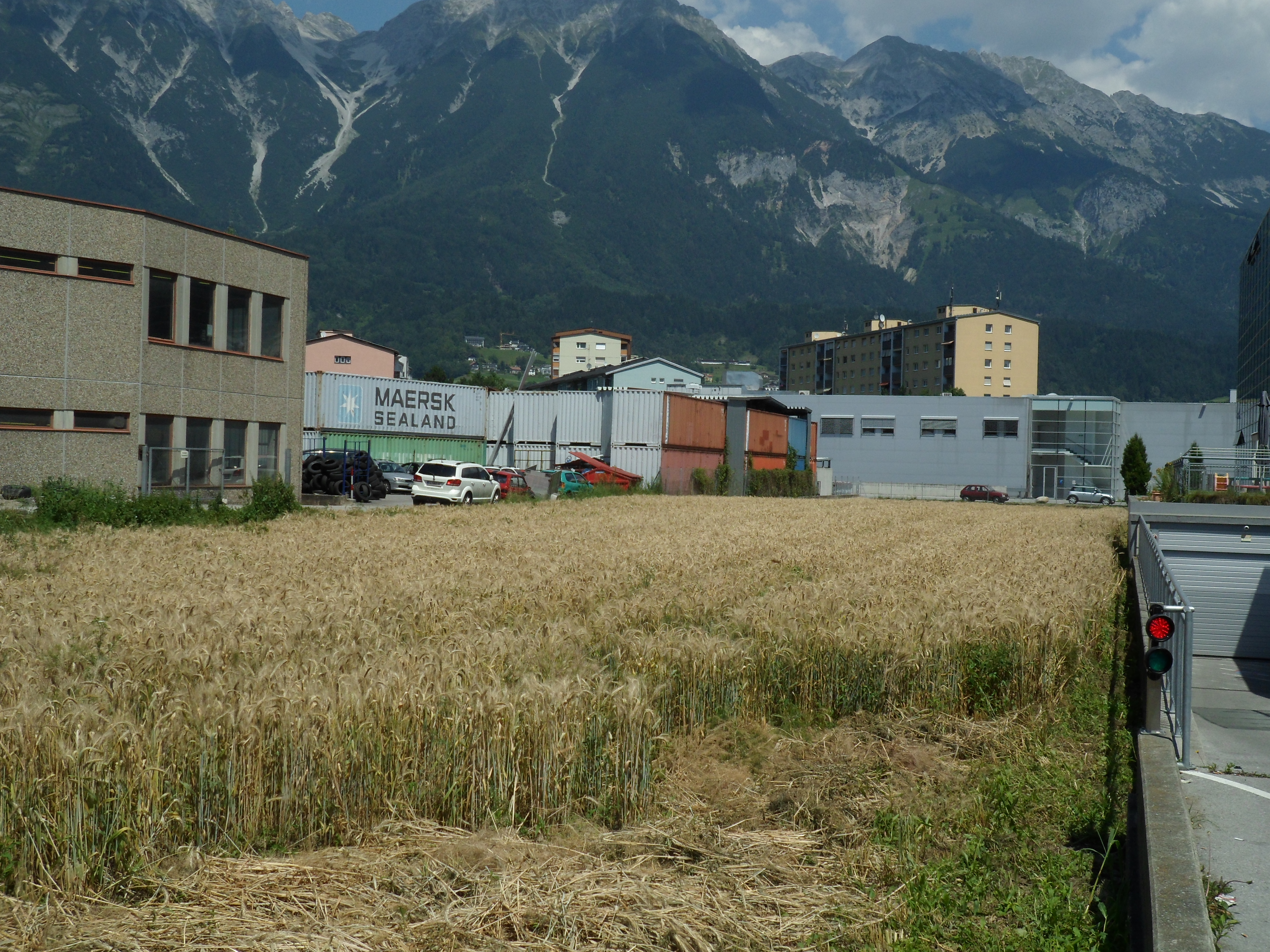 In July, the grain was high and almost ready to harvest.