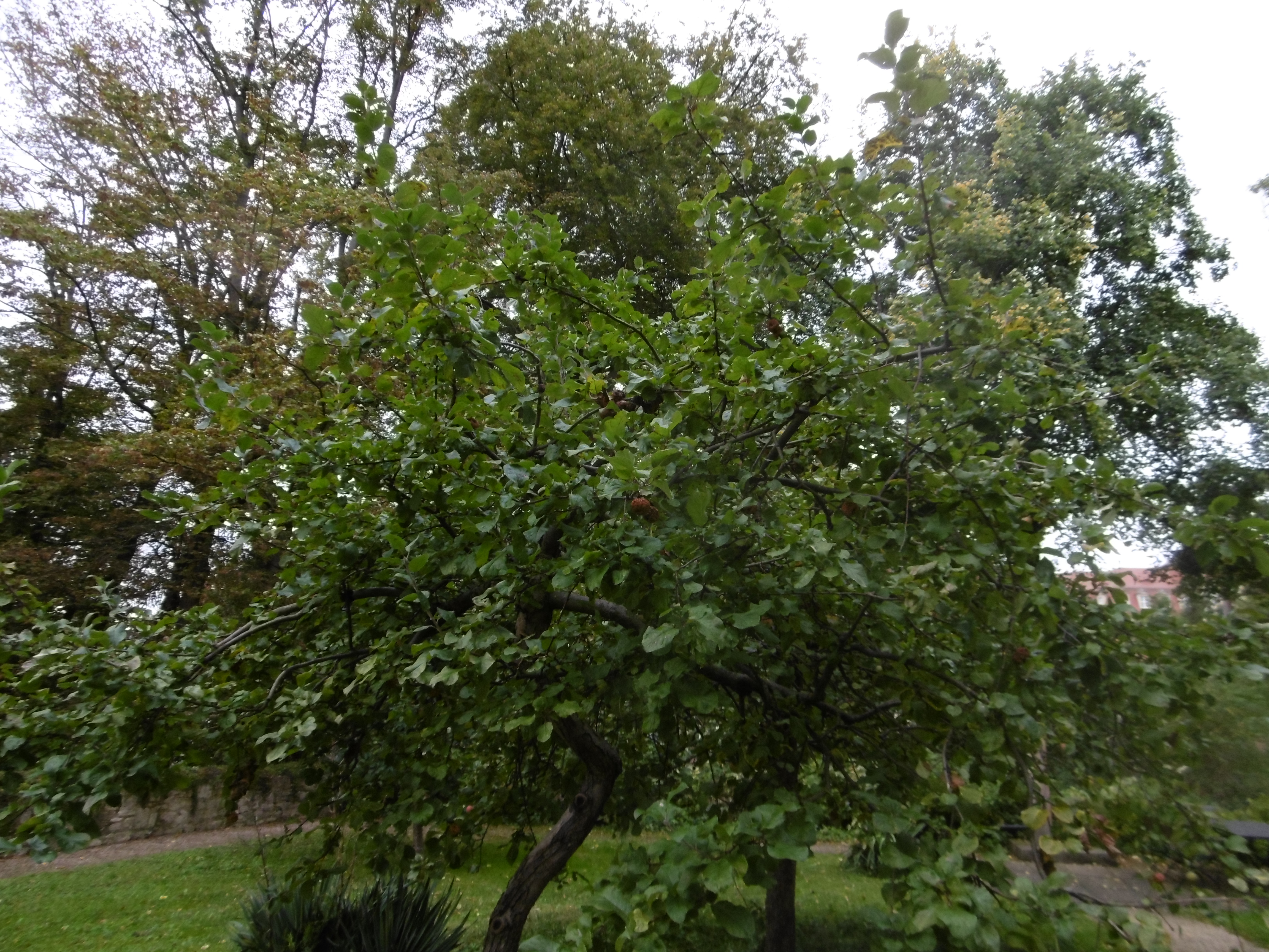 A low tree similar to an apple