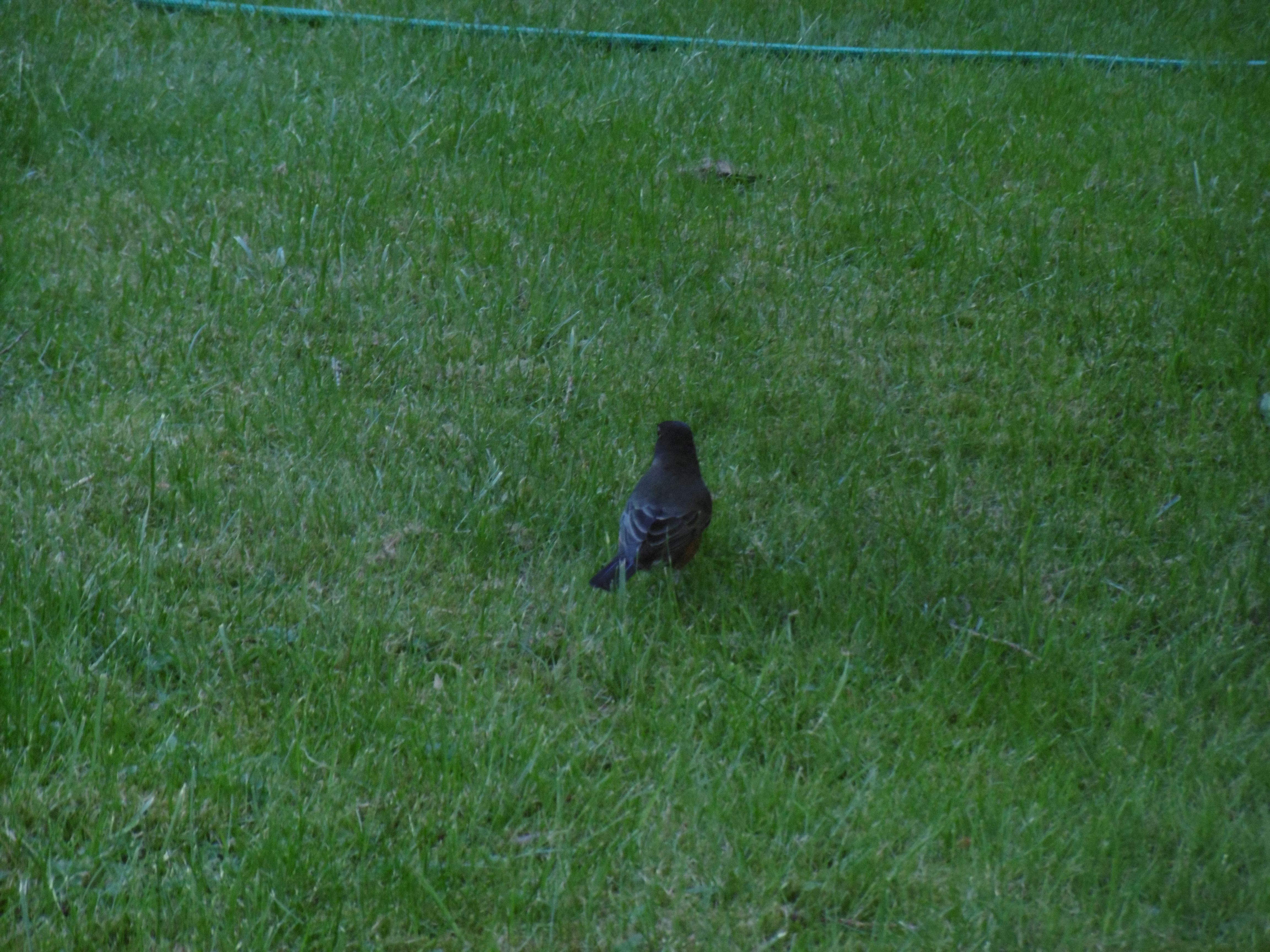 Back view of a small black songbird sitting on a lawn with several species of uneven grass