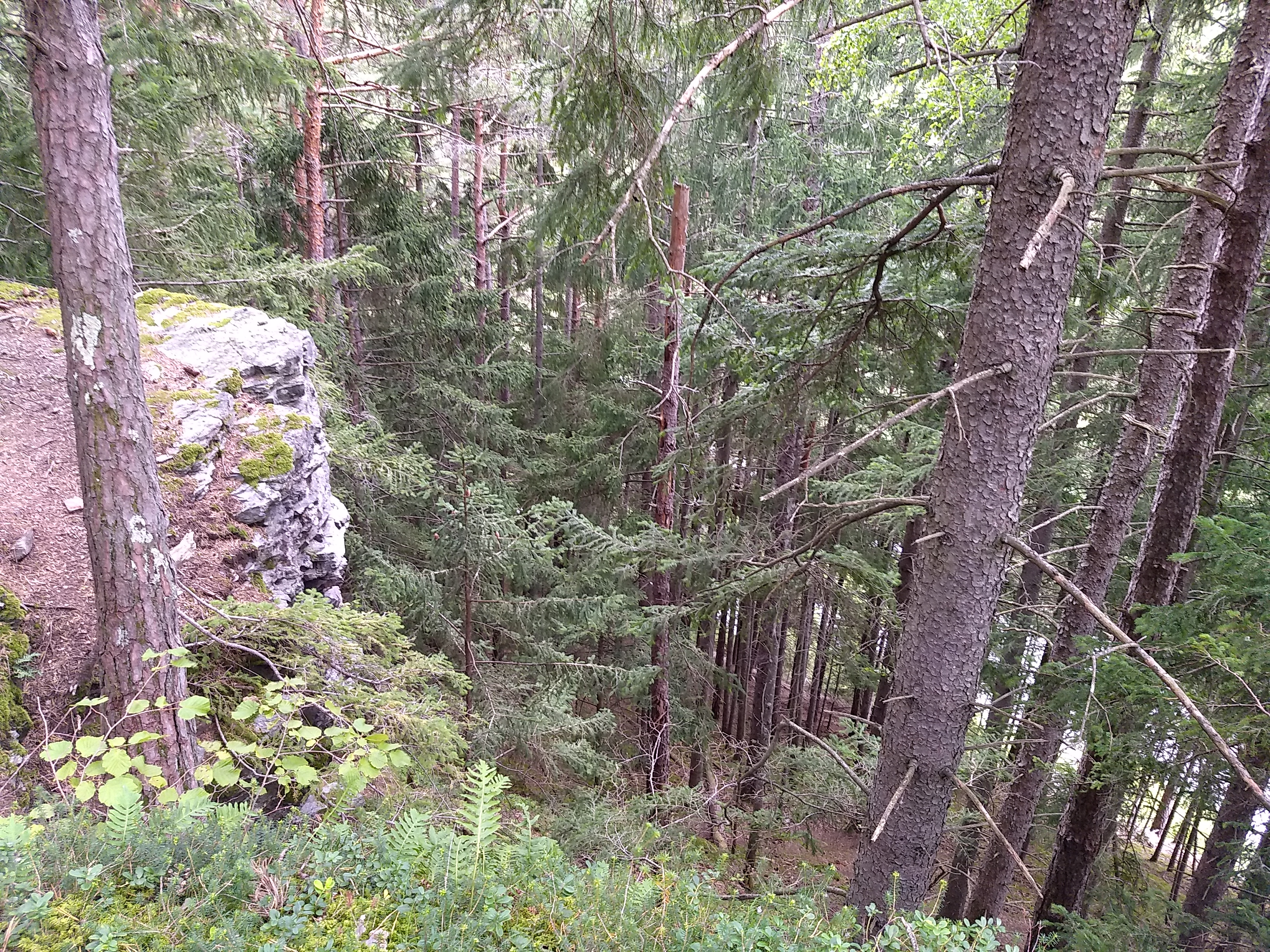 Looking down a steep rocky cliff with young pine and fir trees