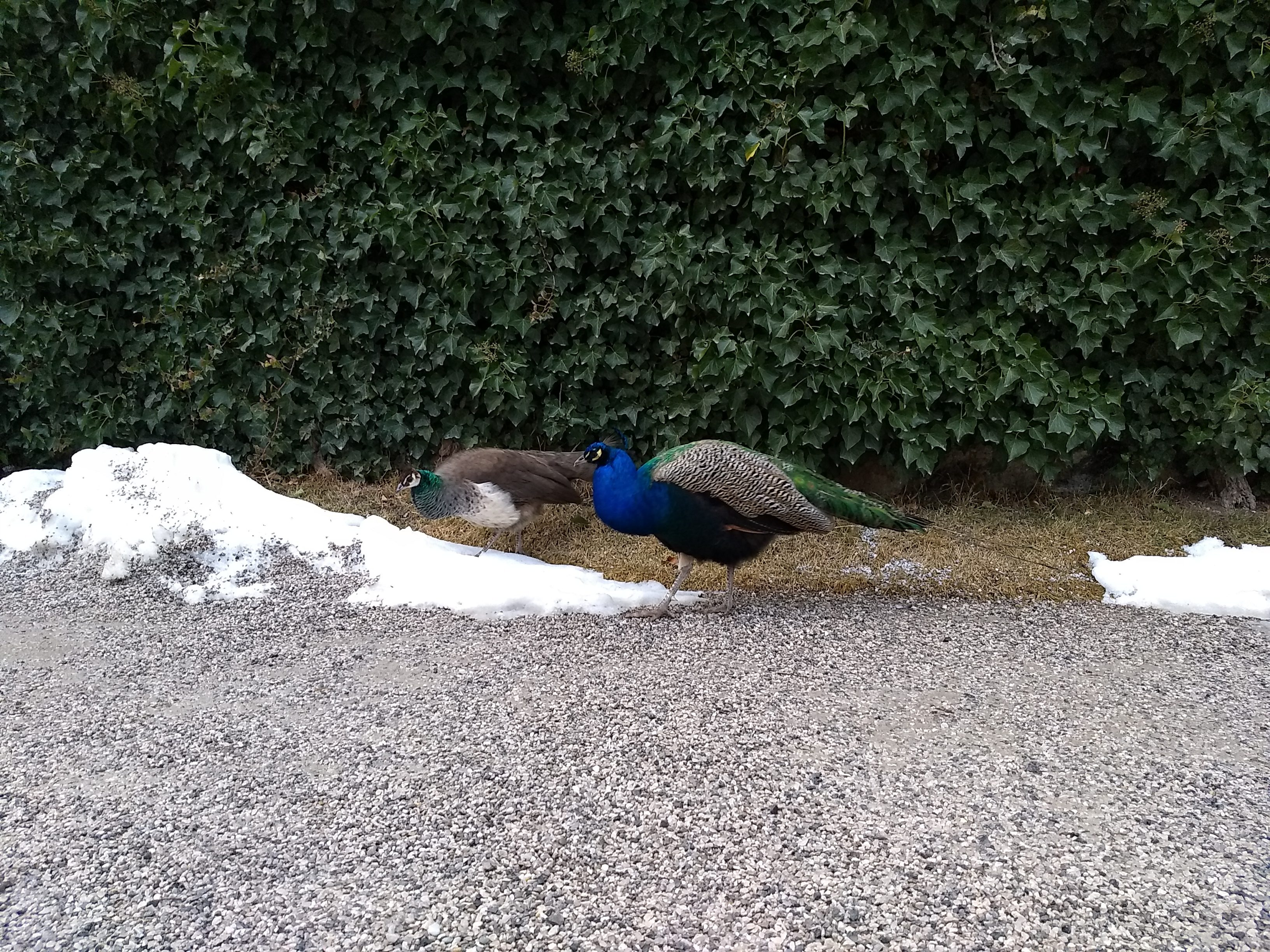 Two peacocks with their tails down walking across gravel with a snowbank and a holly or ivy hedge in the background