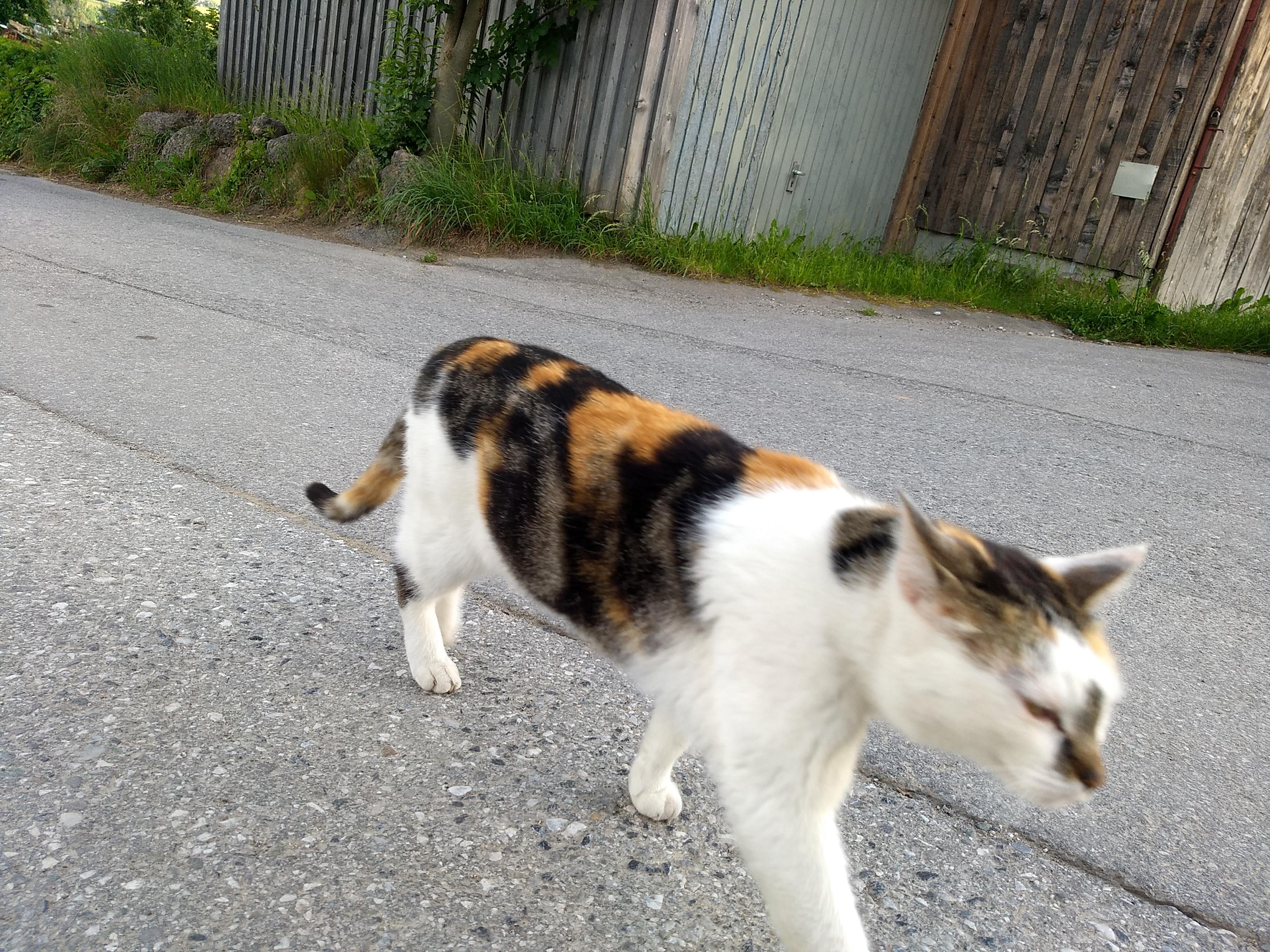 a phoot of a cat walking determinedly across an asphalt street
